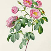Rosa Mollissima Print by Claude Antoine Thory