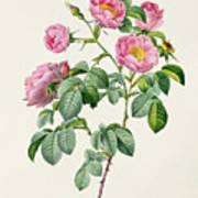 Rosa Mollissima Art Print