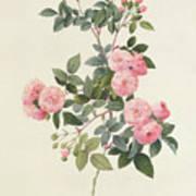 Rosa Multiflora Carnea Art Print