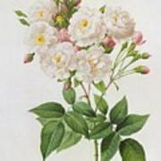 Rosa Noisettiana Print by Pierre Joseph Redoute