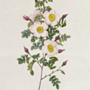 Rosa Pimpinelli Folia Inermis Art Print by Pierre Joseph Redoute