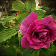 Rosa Rugosa Art Photo Art Print