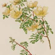 Rosa Spinosissima Var Hispida Art Print