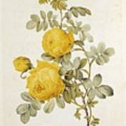 Rosa Sulfurea Art Print by Pierre Redoute