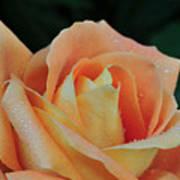 Rose 37 Art Print