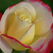 Rose 3913 Art Print