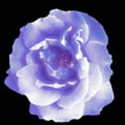 Rose 7 Art Print
