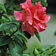 Rose 7898 Art Print