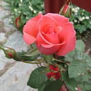 Rose America Art Print