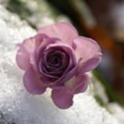 Rose And Snow Art Print
