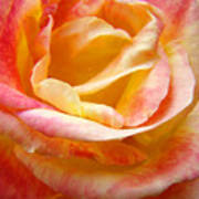Rose Art Pink Yellow Summer Rose Floral Baslee Troutman Art Print