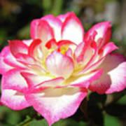 Rose Art Prints Pink White Roses Garden Baslee Troutman Art Print