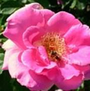 Rose Bee Art Print
