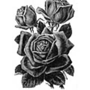 Rose Black Art Print