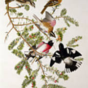 Rose Breasted Grosbeak Art Print by John James Audubon