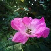Rose Dew Art Print