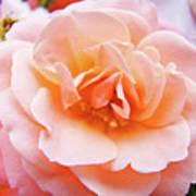 Rose Floral Art Print Peach Pink Roses Garden Canvas Baslee Troutman Art Print