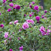 Rose Garden Art Print by Frank Tschakert