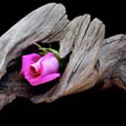 Rose In Driftwood 2 Art Print