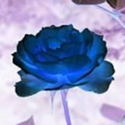 Rose In Full Bluem Art Print