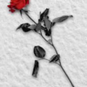 Rose In Snow Art Print