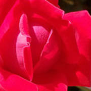 Rose Is As Rose Does Art Print