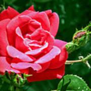 Rose Is Its Name Art Print