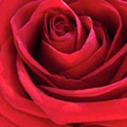 Rose Macro Art Print