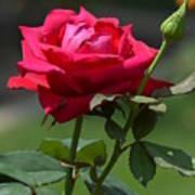 Rose Of Romance Art Print