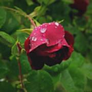 Rose On The Vine Art Print
