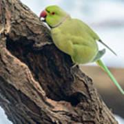 Rose-ringed Parakeet 03 Art Print
