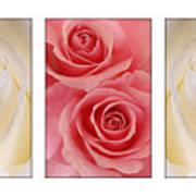 Rose Series  Art Print