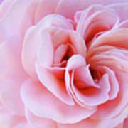 Rose Spiral Art Pink Roses Floral Baslee Troutman Art Print