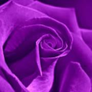 Rose Violet Art Print