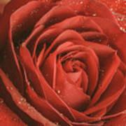 Rose Waiting In The Rain Art Print