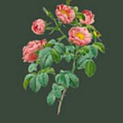 Rose114 Art Print