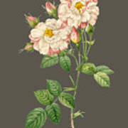Rose59 Art Print