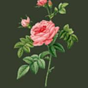 Rose61 Art Print