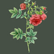 Rose74 Art Print