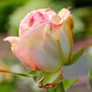 Rosebud Pale Pink Art Print