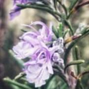 Rosemary Blooming Art Print