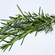 Rosemary Isolated On White Art Print