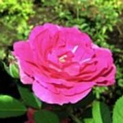 Roses 10 Art Print
