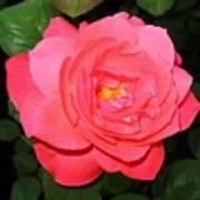 Roses 12 Art Print