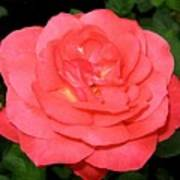 Roses 3 Art Print