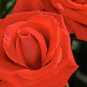 Roses-5814 Art Print