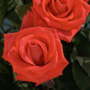 Roses-5840 Art Print