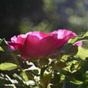 Rose's Illumination Art Print