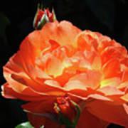 Roses Orange Rose Flowers Rose Garden Art Baslee Troutman Art Print