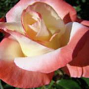 Roses Pink Creamy White Rose Garden 5 Fine Art Prints Baslee Troutman Art Print